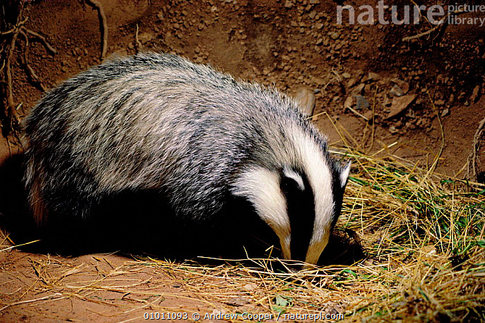 Badger cub in underground sett (Meles meles) England, UK  ,  ACO,BADGERS,BRITISH,CARNIVORES,ENGLAND,EUROPE,HOMES,JUVENILE,MAMMALS,ONE,UNDERGROUND,WILDLIFE,MUSTELIDS  ,  Andrew Cooper