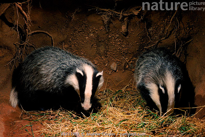 Badger cubs in underground sett. England, ACO,BRITISH,CUBS,ENGLAND,EUROPE,HOMES,HORIZONTAL,JUVENILE,MAMMALS,MUSTELIDS,SETT,TWO,UK,UNDERGROUND,UNITED KINGDOM, Andrew Cooper