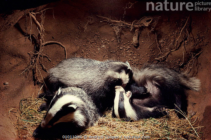 Badger cubs playing in underground sett, England, Europe  ,  THREE,JUVENILE,UNDERGROUND,ACO,HOMES,MAMMALS,EUROPE,HORIZONTAL,CARNIVORES,ENGLAND,PLAYING,UK,UNITED KINGDOM,BRITISH,MUSTELIDS  ,  Andrew Cooper