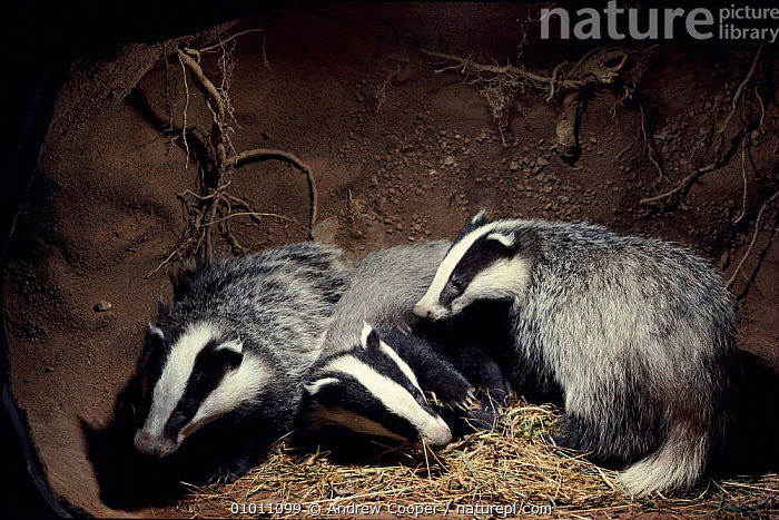 Badger cubs in underground sett, England, UK, ENGLAND,HOMES,UNDERGROUND,JUVENILE,EUROPE,CUBS,THREE,SETT,HORIZONTAL,MAMMALS,UK,ACO,UNITED KINGDOM,BRITISH,MUSTELIDS,GettyBOV, Andrew Cooper