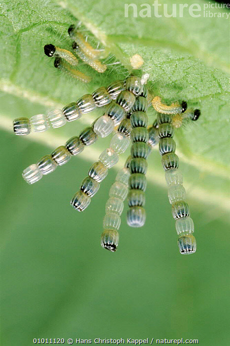 Map Butterfly (Araschnia levana) eggs on leaf with larvae beginning to hatch. Life cycle sequence, BUTTERFLIES,EGGS,EUROPE,HATCHING,INSECTS,INVERTEBRATES,LARVAE,LEPIDOPTERA, Hans Christoph Kappel