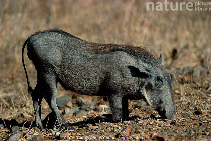 Male warthog kneeling to feed (Phacochoerus aethiop) Kruger NP South Africa, PIGS,MAMMALS,SOUTHERN AFRICA, Ron O'Connor