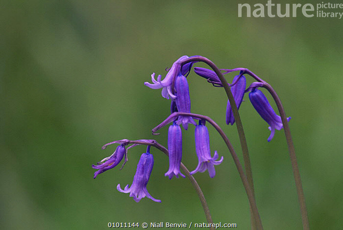 Bluebell (Hyacinthoides non-scripta) flower heads, Scotland  ,  EUROPE, FLOWERS, LILIACEAE, MONOCOTYLEDONS, PLANTS, PURPLE, SCOTLAND, UK, WOODLANDS,United Kingdom  ,  Niall Benvie