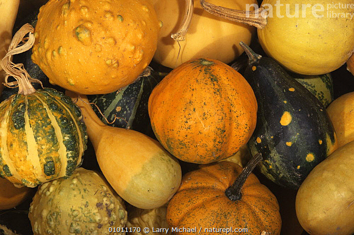 Gourds {Cucurbitaceae sp.} after harvesting, USA  ,  CUCURBITACEAE,DICOTYLEDONS,EDIBLE,FRUIT,HARVESTING,PLANTS,USA,North America  ,  Larry Michael