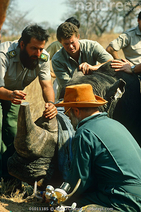 White rhinoceros being sedated as part of relocation project (Ceratotherium simum) Kruger NP, South Africa 1994., ANIMAL CARE,CONSERVATION,ENDANGERED,GROUPS,MAMMALS,NP,PEOPLE,PERISSODACTYLA,RHINOCEROSES,SEDATION,SOUTHERN AFRICA,VERTEBRATES,VERTICAL,VETINARY,National Park , rhino, rhinos, rhinoceros, , rhino, rhinos, rhinoceros,, Ron O'Connor