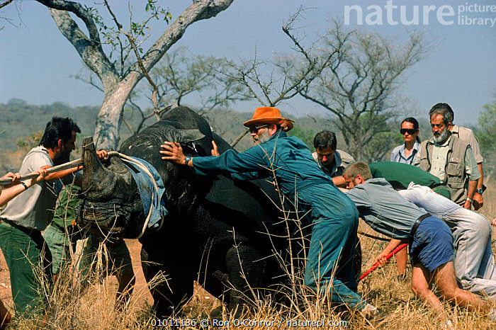 White rhinoceros {Ceratotherium simum} being relocated, Kruger NP, South Africa, HORIZONTAL,ENDANGERED,KRUGER,PEOPLE,CONSERVATION,RHINOCEROSES,AFRICA,NP,MAMMALS,RO,SOUTHERN AFRICA,NATIONAL PARK , rhino, rhinos, rhinoceros, , rhino, rhinos, rhinoceros,, Ron O'Connor
