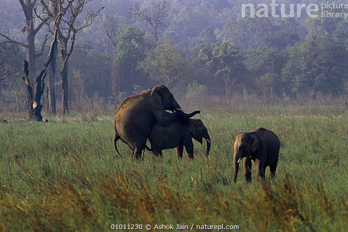 Indian elephants mating. India (Elephas maximus) Corbett NP, AJ,BEHAVIOUR,COPULATION,CORBETT,ENDANGERED,INDIA,INDIAN SUBCONTINENT,MALE FEMALE PAIR,MAMMALS,MATING,MATING BEHAVIOUR,NP,ASIA,REPRODUCTION,NATIONAL PARK,ELEPHANTS, Ashok Jain