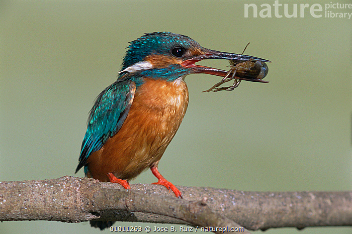 Male common kingfisher (Alcedo atthis) with frog prey,  Turia River, Valencia, Spain, AMPHIBIANS,BIRDS,EUROPE,FEEDING,FROGS,KINGFISHERS,MALES,SPAIN,VERTEBRATES,Catalogue1, Jose B. Ruiz