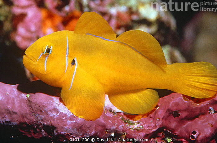 Citron goby (Gobiodon citrinus) Red Sea, Egypt  ,  CORAL REEFS,FISH,GOBIES,MARINE,NORTH AFRICA,OSTEICHTHYES,RED SEA,TROPICAL,VERTEBRATES,YELLOW,Africa  ,  David Hall