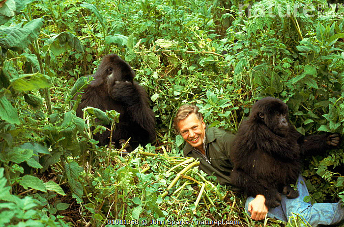 David Attenborough with mountain gorillas, on location during filming for  BBC  'Life on Earth' series in Rwanda 1979, CENTRAL AFRICA,CLOUD FOREST,LIFE,ON,EARTH,MAMMALS,SOCIAL BEHAVIOUR,AFFECTIONATE,GORILLAS,MIXED SPECIES,HORIZONTAL,PEOPLE,JSP,AFRICA,CONCEPTS,GORILLA BERINGEI,GORILLAS,PRIMATES,MAMMALS,ENDANGERED,INTERACTION, John Sparks