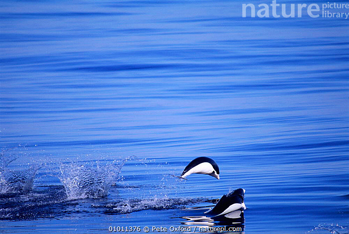 Southern Right whale dolphins porpoising (Lissodelphis peronii) Peru, Pacific  ,  CETACEANS,HORIZONTAL,JUMPING,LEAPING,MAMMAL,MAMMALS,MARINE,PACIFIC,PERU,PO,SEA,SOUTH AMERICA,SURFACE,DOLPHINS, Mammals  ,  Pete Oxford