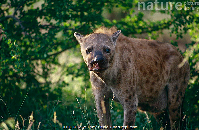 Spotted hyaena (Crocuta crocuta) old and injured, Kruger NP, South Africa  ,  BLIND,CARNIVORES,HYAENAS,MAMMALS,RESERVE,SOUTHERN AFRICA,SPOTTED,UGLY,VERTEBRATES,WOUNDED  ,  Tony Heald