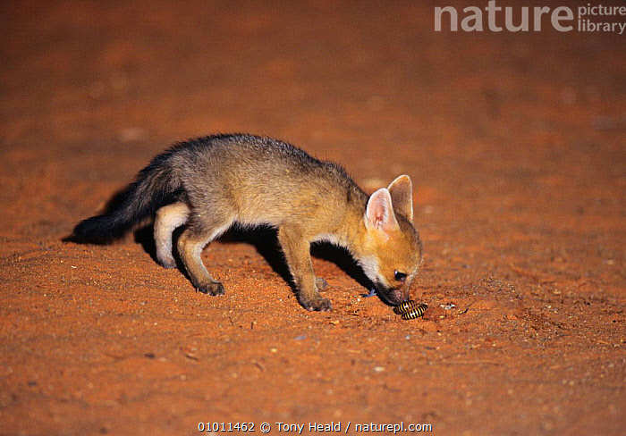 Young cape fox (Vulpes chama) sniffs at giant south african millipede.  Kalahari Gemsbok NP, South Africa  ,  CANIDS,CARNIVORES,CUTE,FOXES,JUVENILE,MAMMALS,MIXED SPECIES,NP,SOUTHERN AFRICA,VERTEBRATES,National Park,Dogs ,Kgalagadi,Transfrontier  ,  Tony Heald