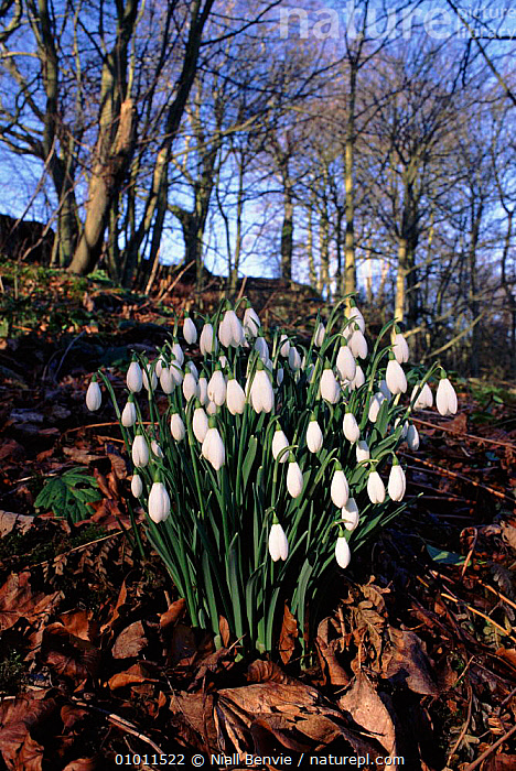 Snowdrops in beech wood, Scotland  ,  BEECH,EUROPE,FLOWERS,NB,PLANTS,SCOTLAND,UK,VERTICAL,WHITE,WINTER,WOODLAND,UNITED KINGDOM,BRITISH  ,  Niall Benvie