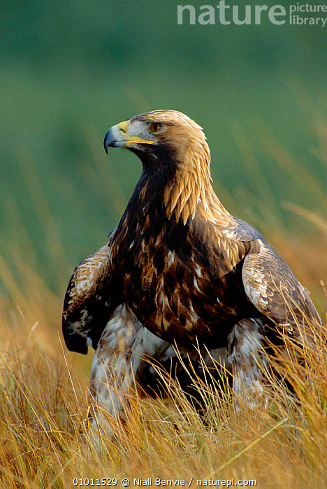 Golden Eagle, 4th year male portrait (Aquila chrysaetos) Scotland, ,BIRDS,CAPTIVE,EAGLES,EUROPE,MALES,OUTSTANDING,PORTRAITS,RAPTOR,SCOTLAND ,BIRDS OF PREY, Niall Benvie