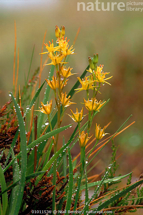 Bog asphodel (Narthecium ossifragum) Argyll, Scotland, UK, Europe  ,  MONOCOTYLEDONS,ARGYLL,EUROPE,SCOTLAND,FLOWERS,DEW,WETLANDS,VERTICAL,YELLOW,UK,UNITED KINGDOM,BRITISH  ,  Niall Benvie