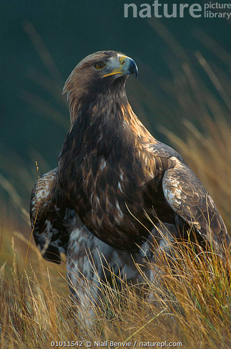 Golden Eagle 4th year male portrait captive (Aquila chrysaetos) Scotland 2002  ,  APRIL,BIRDS,BIRDS OF PREY,EAGLES,EUROPE,MALES,MOORLAND,OUTSTANDING,PORTRAITS,Raptor,Catalogue1  ,  Niall Benvie