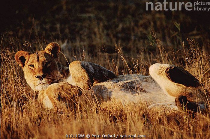 Sub-adult lioness lying on back. Moremi Wildlife Reserve, Botswana, Okavango Delta  ,  BOTSWANA,MOREMI,CUTE,JUVENILE,PLAY,RESERVE,SOUTHERN AFRICA,OKAVANGO,AFRICA,HORIZONTAL,PO,COMMUNICATION,LIONS,BIG CATS ,MAMMALS,VERTEBRATES,CATS,BIG CATS,FELIDAE,LIONS  ,  Pete Oxford