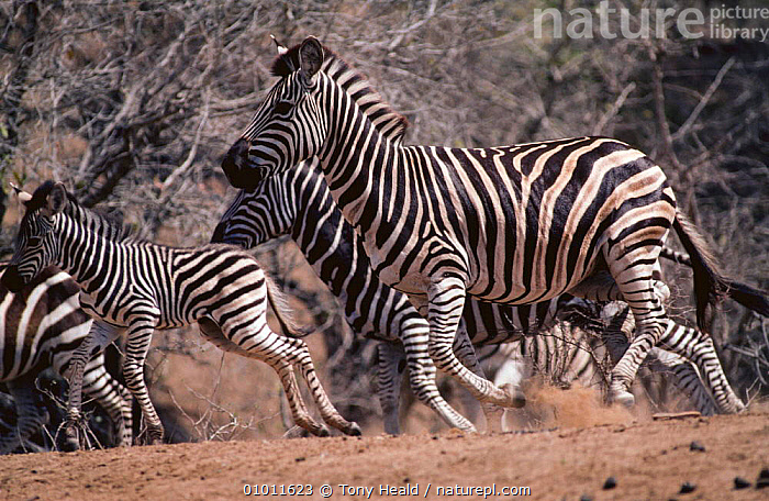 Common zebra (Equus quagga) herd running, Kruger NP, South Africa  ,  ACTION,AFRICA,FIGHTING,GROUPS,HERDS,MAMMALS,MOTION,MOVEMENT,NP,PERISSODACTYLA,RUNNING,SOUTHERN AFRICA,STRIPES,VERTEBRATES,ZEBRAS,Aggression,National Park,Equines,Concepts  ,  Tony Heald