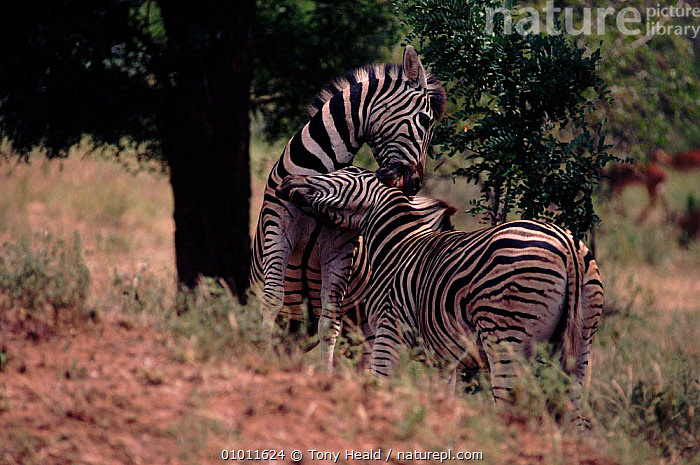 Common zebras fighting, Kruger NP, South Africa  ,  PERISSODACTYLA,MAMMALS,SOUTHERN AFRICA,TH,FIGHTING,NP,AFRICA,KRUGER,HORIZONTAL,AGGRESSION,NATIONAL PARK,EQUINES,Concepts  ,  Tony Heald