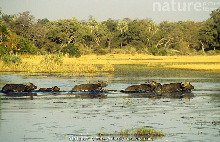 African buffalo (Syncerus caffer) herd crossing river, Okavango Delta, Botswana  ,  ARTIODACTYLA,BEHAVIOUR,BOVIDS,BUFFALOS,GROUPS,LANDSCAPES,MAMMALS,SOUTHERN AFRICA,SWIMMING,VERTEBRATES,WATER,WETLANDS  ,  Pete Oxford