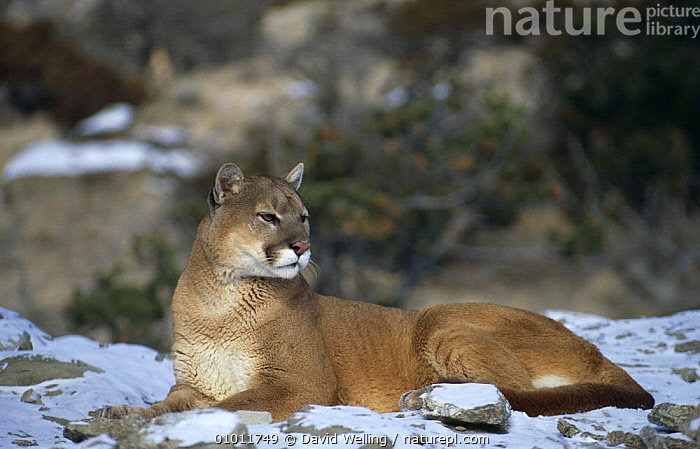 Puma {Felis concolor} resting on snow covered ground, captive, Montana, USA  ,  BIG CATS,CARNIVORES,CATS,MAMMALS,NORTH AMERICA,PUMAS,SNOW,USA,VERTEBRATES,WINTER  ,  David Welling