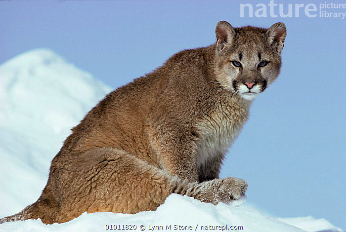 Puma mountain lion / cougar cub in snow (Felis concolor) USA. Captive.  ,  JUVENILE,CATS,MONTANA,USA,PORTRAITS,MAMMALS,North America  ,  Lynn M Stone