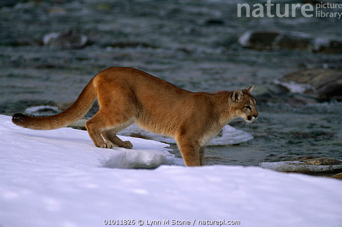 Puma {Felis concolor} by river's edge in snow. Captive, Montana, USA  ,  BIG CATS,CARNIVORES,CATS,MAMMALS,NORTH AMERICA,PUMAS,RIVERS,USA,VERTEBRATES,WINTER  ,  Lynn M Stone