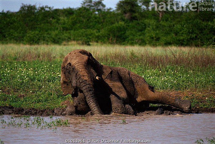 Elephant (Loxodonta africana) having a mud bath. Kruger NP South Africa  ,  PROBOSCIDS,WALLOW,MAMMALS,NP,SOUTHERN AFRICA,AFRICA,RIVER,VELDT,WATER,RO,BATH,SOUTH,HORIZONTAL,ELEPHANTS,KRUGER,MUD,GROOMING,MALES,GRASSLAND,NATIONAL PARK  ,  Ron O'Connor