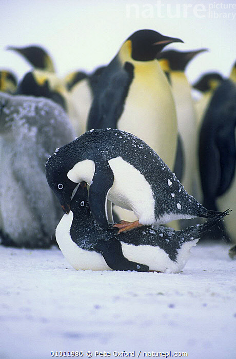Adelie penguin {Pygoscelis adeliae} mating pair with colony of Emperor penguin in the background, Antarctica  ,  ANTARCTICA,BIRDS,COPULATION,FLIGHTLESS,MALE FEMALE PAIR,MATING BEHAVIOUR,PENGUINS,REPRODUCTION,SEABIRDS,VERTEBRATES,VERTICAL  ,  Pete Oxford