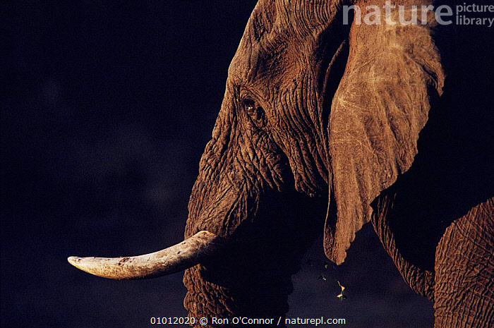 Adult African Elephant portrait. Kruger National Park, South Africa.  ,  FACES,DUSK/SUNSET,EARS,RESERVE,BROWN,HORIZONTAL,MAMMALS,SOUTHERN AFRICA,NP,PORTRAITS,PROBOSCIDS,BLACK,AFRICA,TUSKS,NATIONAL PARK,ELEPHANTS  ,  Ron O'Connor