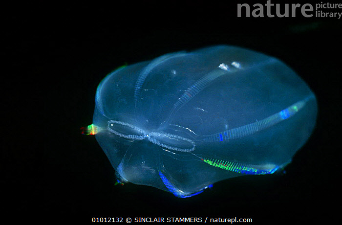 Comb jelly with syphons visible (Beroe ovata) plankton species, France  ,  COASTAL WATERS,COMB JELLIES,CTENOPHORA,FRANCE,INVERTEBRATES,MARINE,MEDITERRANEAN,PLANKTON,TRANSPARENT,Europe  ,  SINCLAIR STAMMERS