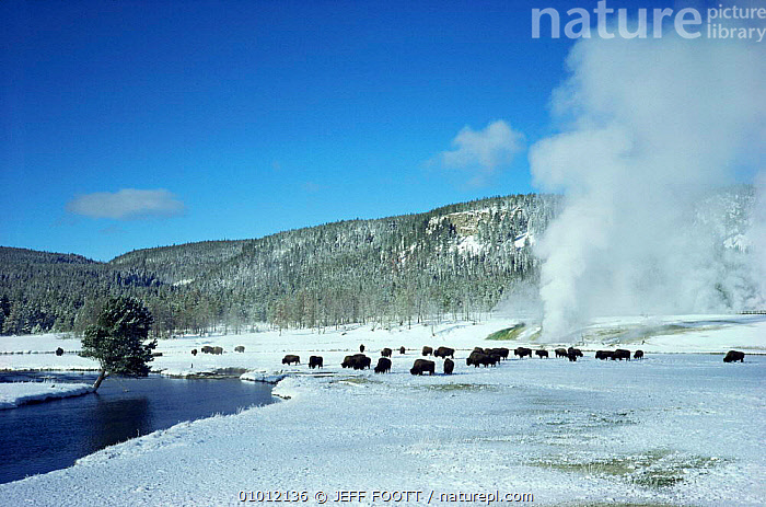Herd of Bison (Bison bison) grazing in steaming geyser landscape, Yellowstone NP, Wyoming. USA.  ,  FEEDING,GEOTHERMAL,grazing,GROUPS,Herds,LANDSCAPES,MAMMALS,NORTH AMERICA,NP,RESERVE,SNOW,steam,USA,Geology,National Park  ,  JEFF FOOTT