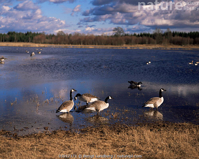 Canada Geese (Branta canadensis) Hornbogarsjon Sweden. April.  ,  BIRDS,CANADA,GEESE,GOOSE,LAKES,SPRING,SWEDEN,VERTEBRATES,WATERFOWL,Europe,Scandinavia,North America,Wildfowl, waterfowl  ,  Bengt Lundberg
