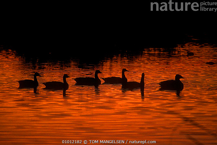 Canada Geese (Branta canadensis) at dusk, NM, USA.  ,  NORTH AMERICA,SUNSET,BIRDS,SWIMMING,USA,RED,SILHOUETTES,WATERFOWL,WILDFOWL, waterfowl  ,  TOM MANGELSEN