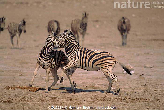 Zebra stallions fighting, Etosha NP, Namibia.  ,  AFRICA,PERISSODACTYLA,ETOSHA,TB,NP,SOUTHERN AFRICA,DOMINANCE,MAMMALS,FIGHTING,HORIZONTAL,MALES,NAMIBIA,AGGRESSION,NATIONAL PARK,EQUINES,Concepts  ,  Hermann Brehm