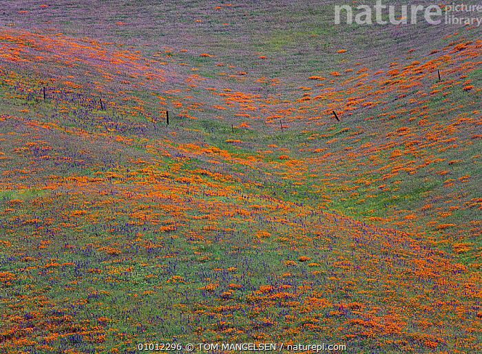 Poppies and Lupine flowering, Tehachapi Mountains, spring California. USA Meadow scene.  ,  MEADOWLAND,LANDSCAPES,RED,OUTSTANDING,PEACEFUL,FLOWERS,ATMOSPHERIC,BLUE,GRASSLAND,CONCEPTS,USA,North America  ,  TOM MANGELSEN