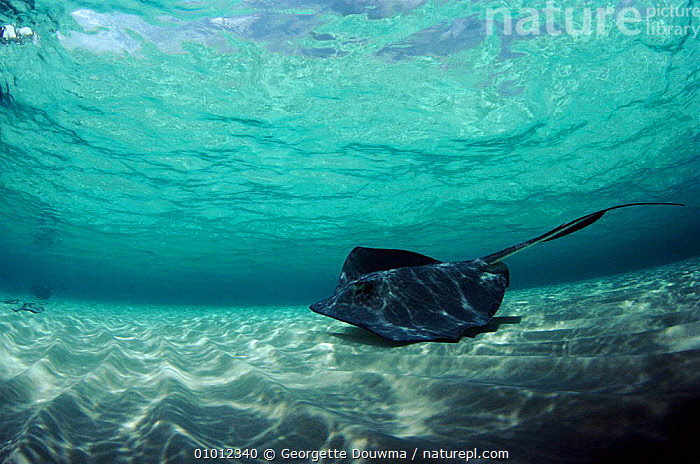 Southern Stingray in shallows off Cayman Islands  ,  MARINE,CAYMAN,GD,HORIZONTAL,BLUE,SAND,CARIBBEAN,COASTAL WATERS,SEA,FISH,West Indies,Catalogue1  ,  Georgette Douwma