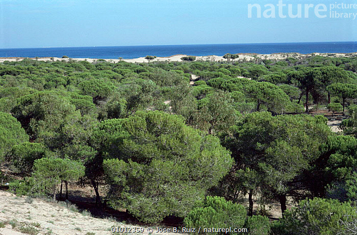 Pine woodland on coastal sand dunes, Guadamar, Alicante, Spain  ,  COASTS,CONIFEROUS,EUROPE,SPAIN,TREES,WOODLANDS,Plants  ,  Jose B. Ruiz