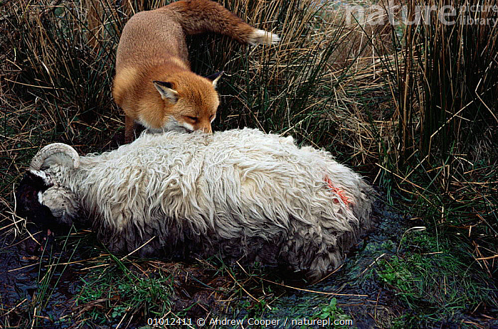 Fox scavenging dead sheep (Vulpes vulpes) Dartmoor, UK. Winter.  ,  CANIDS,CARNIVORES,DEATH,ENGLAND,FEEDING,FOXES,LIVESTOCK,MAMMALS,MOORLAND,RED,SCAVENGING,SHEEP,VERTEBRATES,Europe,Dogs  ,  Andrew Cooper