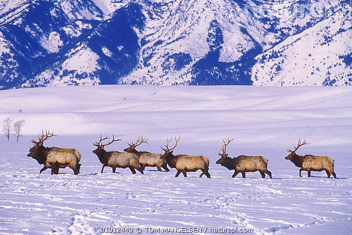 American Elk herd in snow (Cervus elaphus) National Elk Refuge. Jackson, Wyoming, USA.  ,  USA,WALKING,WINTER,WHITE,MAMMALS,MOUNTAINS,REFUGE,GROUPS,NORTH AMERICA  ,  TOM MANGELSEN