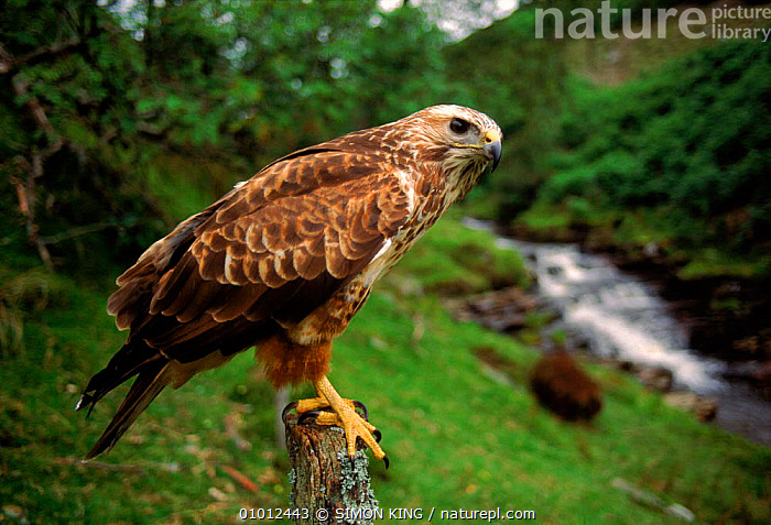 Common Buzzard, pale phase, UK.  ,  PERCHING,STREAMS,FARMLAND,CAPTIVE,PORTRAITS,PALE,,PHASE,HORIZONTAL,UK,BIRDS,EUROPE,SK ,BIRDS OF PREY,UNITED KINGDOM,BRITISH,HAWKS,GettyBOV  ,  SIMON KING