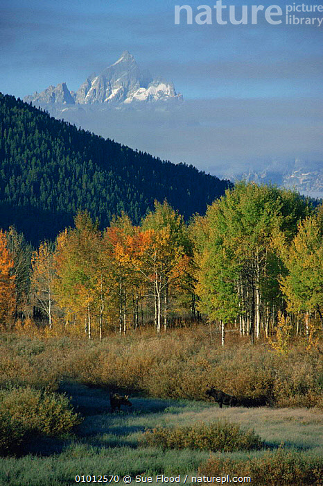 Moose (Alces alces) grazing in clearing, Grand Teton in background, Grand Teton NP, Wyoming, USA  ,  AUTUMN,LANDSCAPES,MAMMALS,MOUNTAINS,NORTH AMERICA,NP,TREES,USA,VERTICAL,Plants,National Park ,Rocky Mountains,  ,  Sue Flood