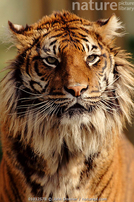 Sumatran Tiger portrait.  ,  BEARD,BIG,CAPTIVE,FACES,HEADS,JD,MAMMALS,OUTSTANDING,PORTRAIT,PORTRAITS,SOUTH EAST ASIA,ASIA,TIGERS,BIG CATS  ,  John Downer