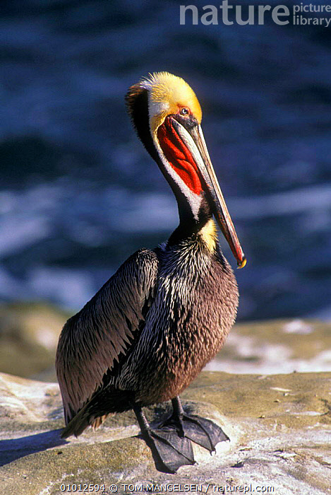 Brown pelican portrait (Pelecanus occidentalis) USA.  ,  SEABIRDS,VERTICAL,USA,PORTRAITS,PELICAN,OUTSTANDING,PELICANS,BIRDS,ENDANGERED,NORTH AMERICA  ,  TOM MANGELSEN