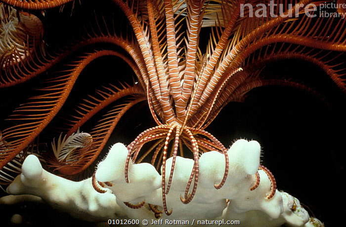 Crinoid holds onto fire coral while feeding at night. Red Sea  ,  MARINE,MIXED SPECIES,OUTSTANDING,NIGHT,INTERESTING,CORAL REEFS,CRINOIDS,COASTAL WATERS,ECHINODERMS,INVERTEBRATES, Invertebrates  ,  Jeff Rotman