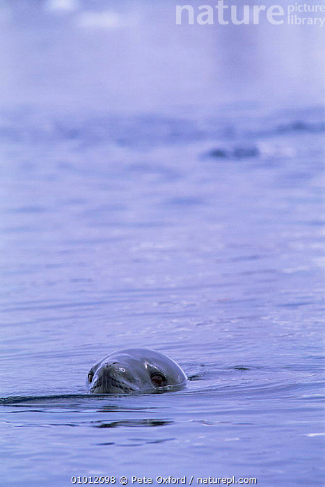 Leopard Seal in sea. (Hydruga leptonyx) Antarctica  ,  ANTARCTICA,CARNIVORES,HEADS,MAMMALS,MARINE,PINNIPEDS,SEALS,THE SEA,VERTEBRATES  ,  Pete Oxford