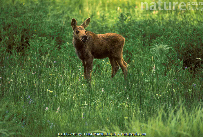 Young Moose in grass (Alces alces) Yellowstone NP, USA.  ,  CUTE,DEER,BABIES,PORTRAITS,MAMMALS,JUVENILE,USA,NORTH AMERICA  ,  TOM MANGELSEN