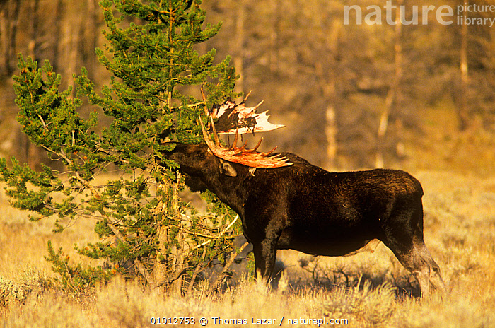 Moose (Alces alces) male rubbing velvet off its antlers in the autumn, Yellowstone NP, Wyoming, USA  ,  ANTLERS,ARTIODACTYLA,AUTUMN,BEHAVIOUR,CERVIDS,DEER,MALES,MAMMALS,NP,USA,VERTEBRATES,National Park,North America  ,  Thomas Lazar