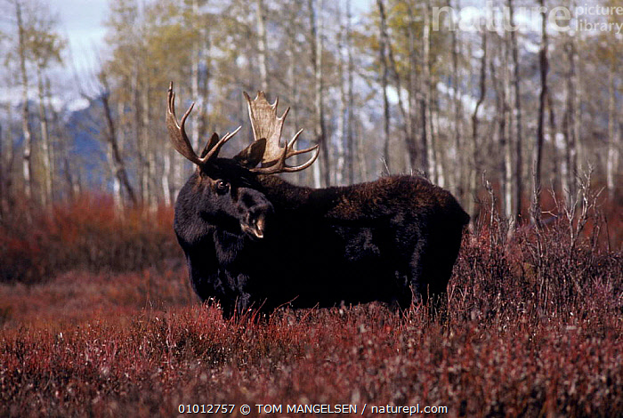 Bull moose (Alces alces) Grand Teton NP, USA.  ,  DEER,ARTIODACTYLA,PORTRAITS,MAMMALS,MALES,USA,NORTH AMERICA ,Rocky Mountains,  ,  TOM MANGELSEN